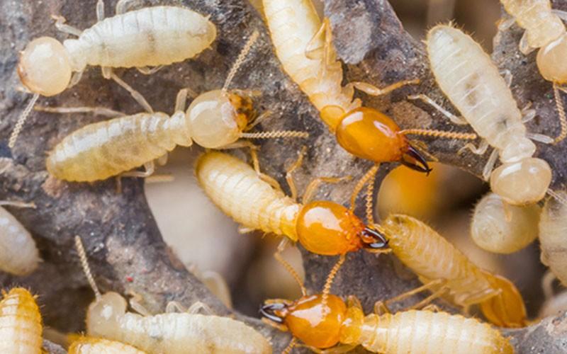 termites Singapore