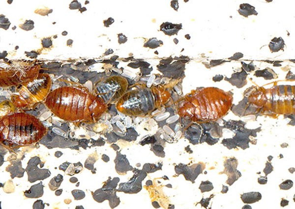 Pest Control For Bed Bugs In Singapore Bed Bugs Pest